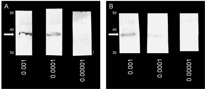 Representative results obtained with the SA500 SecureSeal (A) and an open well (B) with various primary antibody dilutions
