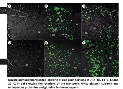 Double immunofluorescence labelling of rice grain sections at 7 (A, D), 14 (B, E) and 20 (C, F) daf showing the locations of the transgenic HMW glutenin sub-unit and endogenous prolamins and glutelins in the endosperm.