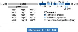 Predicted ORFs in SARS-CoV-2 genome